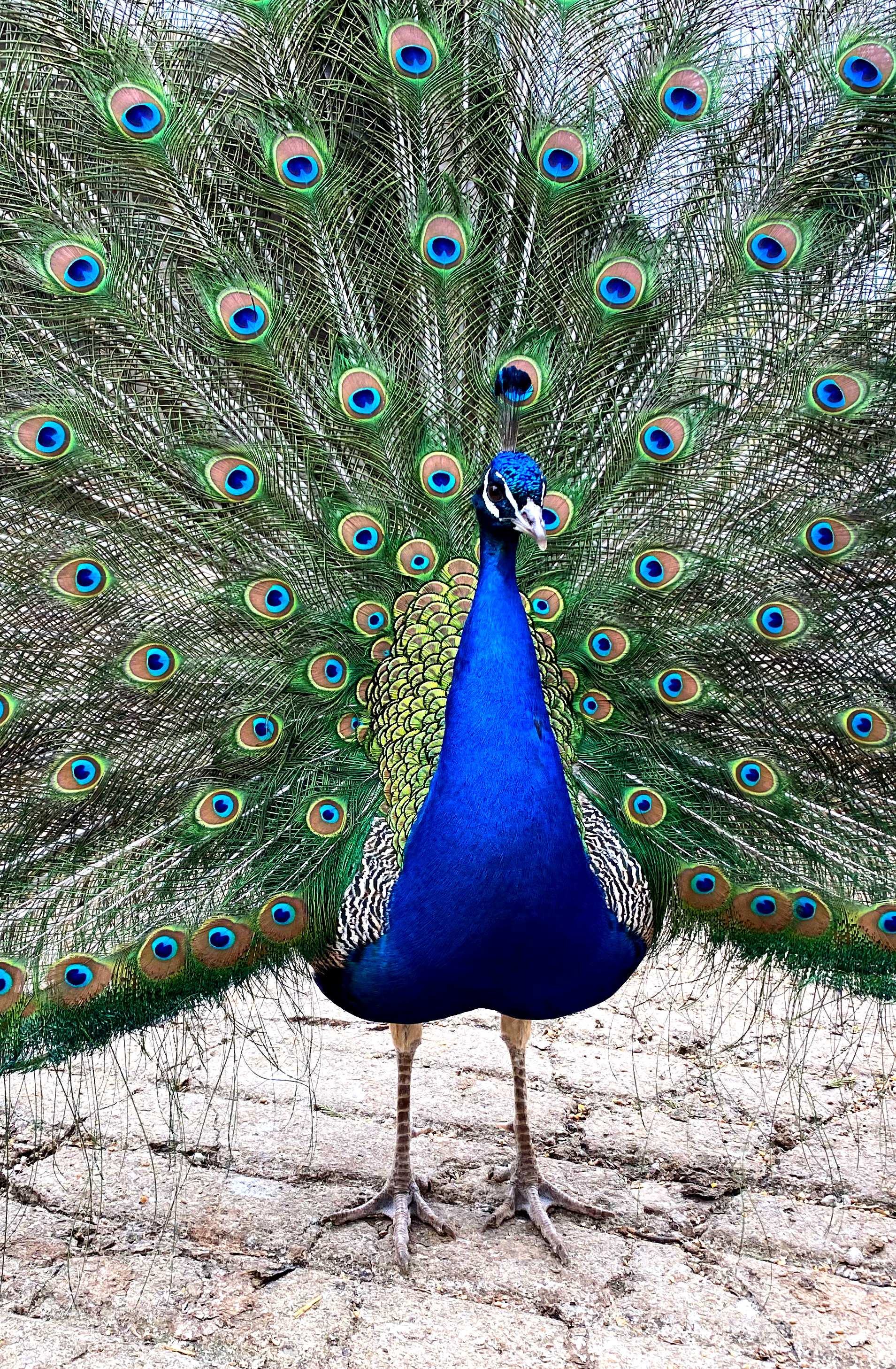 Duran the peacock is a nice challenge for artists